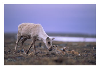 103194a-barren-ground-caribou-mother-tends-to-her-young-posters